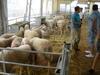 imagen de La subasta de sementales de raza ovina manchega repite éxito en FERCAM