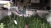 imagen de La Guardia Civil de Toledo detiene a tres personas e incauta 1235 plantas de marihuana