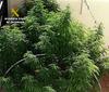 imagen de La Guardia Civil detiene en Villarrubia a dos personas por cultivo y tráfico de marihuana