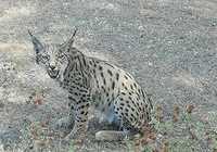 WWF estrena hoy 'Territorio Lince', un 'Gran Hermano' para disfrutar linces, jabalíes, búhos y aves las 24 horas del día